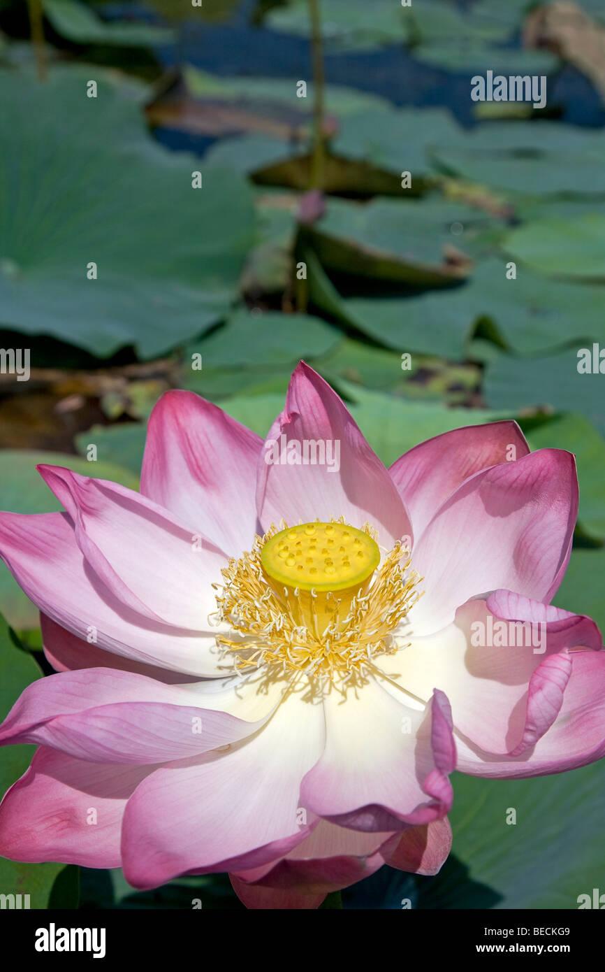 Pink lotus the national flower of india stock photos pink lotus lotus flower dal lake srinagar kashmir india stock image mightylinksfo