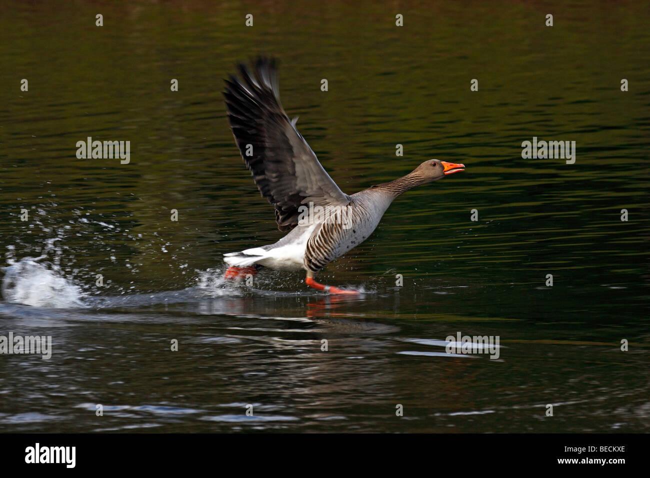 Grey goose, greylag goose (Anser anser) running over water Stock Photo
