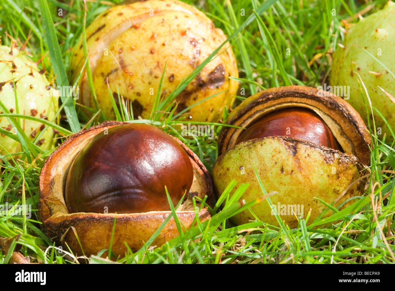 Fallen conkers. Horse-chestnut, Aesculus hippocastanum. UK - Stock Image