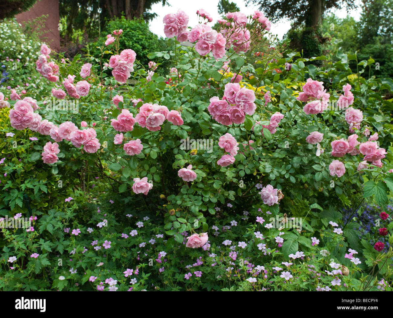 Shrub rose in cottage garden with geraniums in foreground. - Stock Image