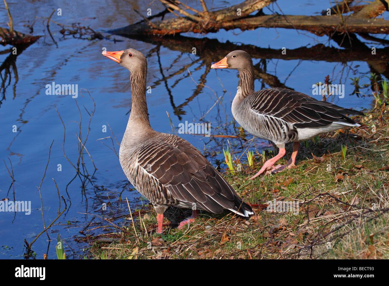 Pair of gray geese, grey goose, greylag goose, (Anser anser) Stock Photo