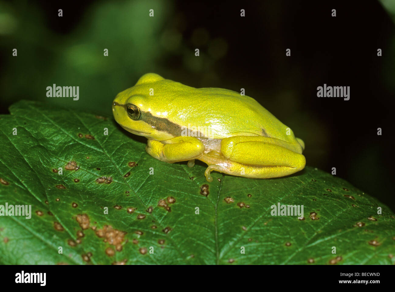 Treefrog (Hyla arborea), very yellowy tinted juvenile resting in the sun - Stock Image