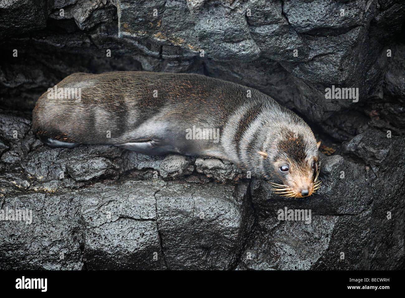 Galapagos Fur Seal (Arctocephalus galapagoensis) on wet rock, Santiago Island, San Salvador, James Island, Puerto - Stock Image