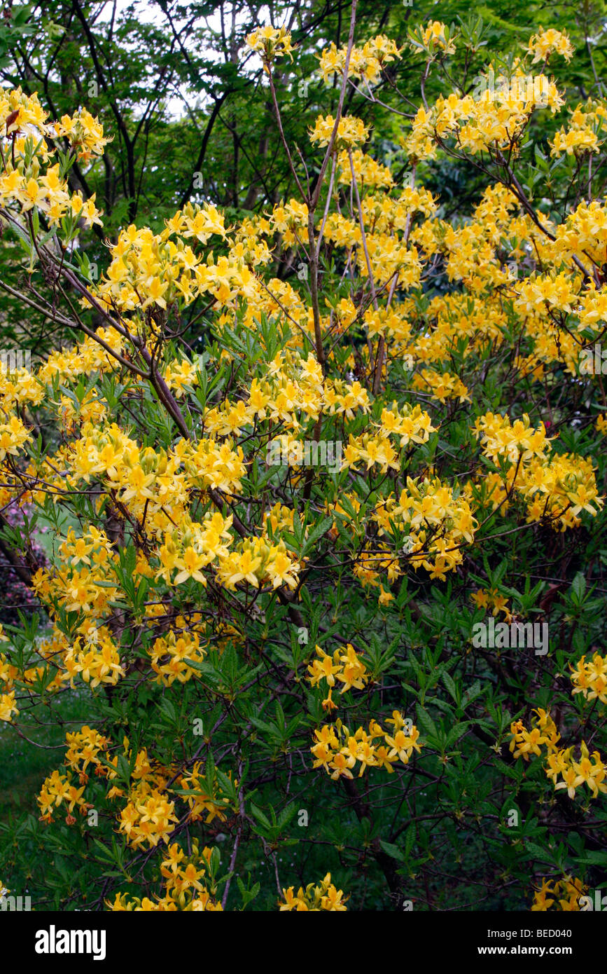 Rhododendron luteum AGM - Stock Image