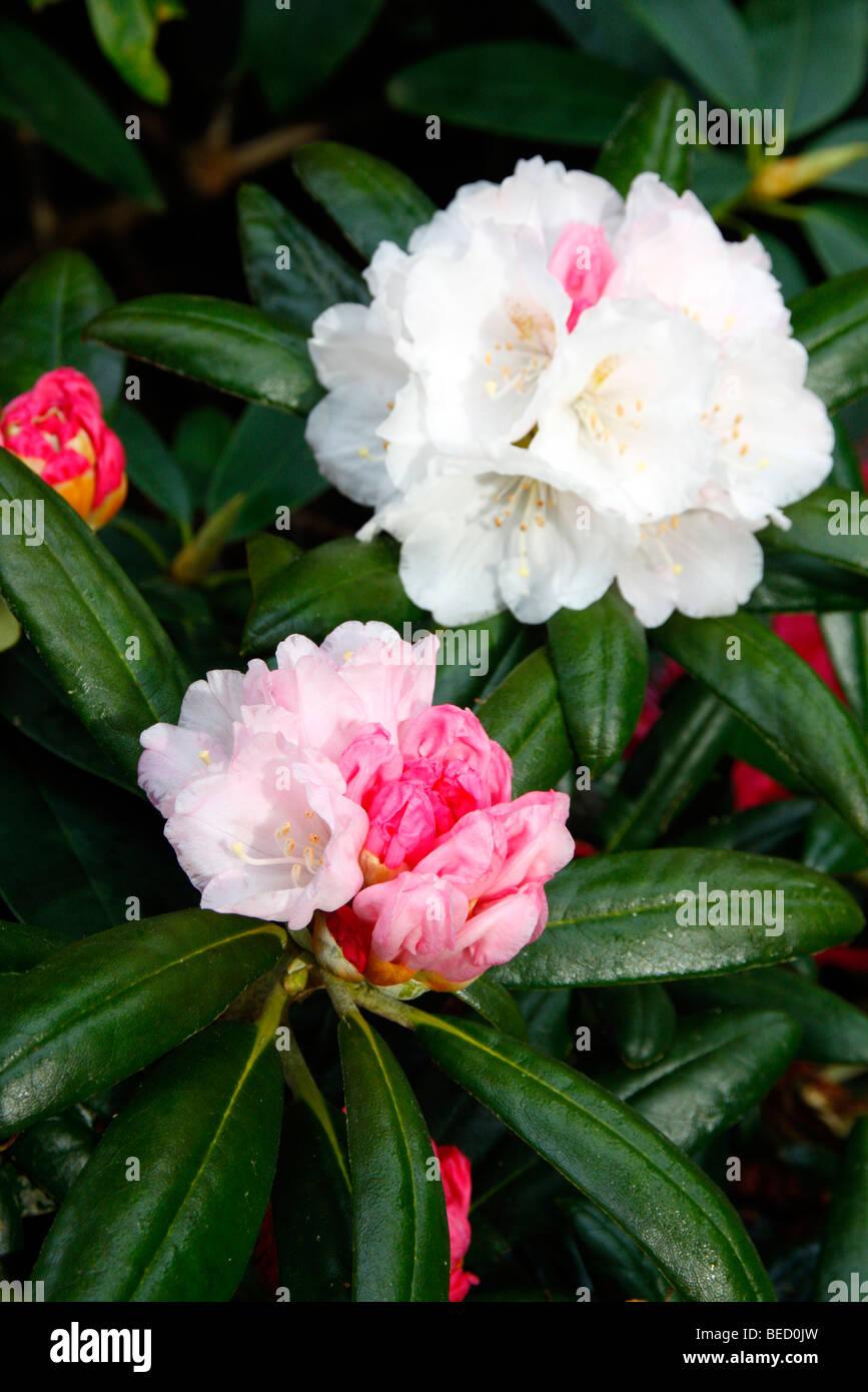Rhododendron yakushimanum FCC form syn R Yakushimanum 'Koichiro Wada' AGM - Stock Image