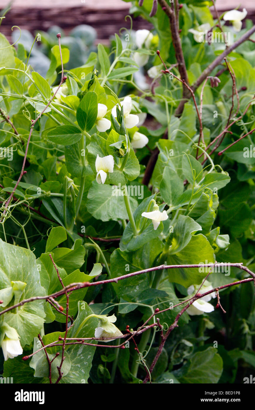 White flower vegetable spring pea climbing sticks support stock pea feltham first early may stock image mightylinksfo