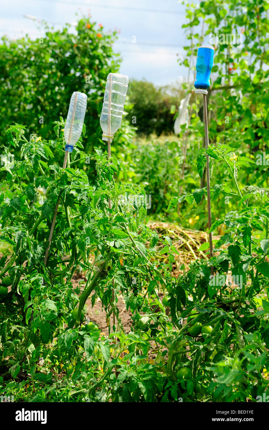 Empty Plastic Water Bottles used for Proctection by Gardeners against Sharp Bamboo Canes- August 2009 - Stock Image