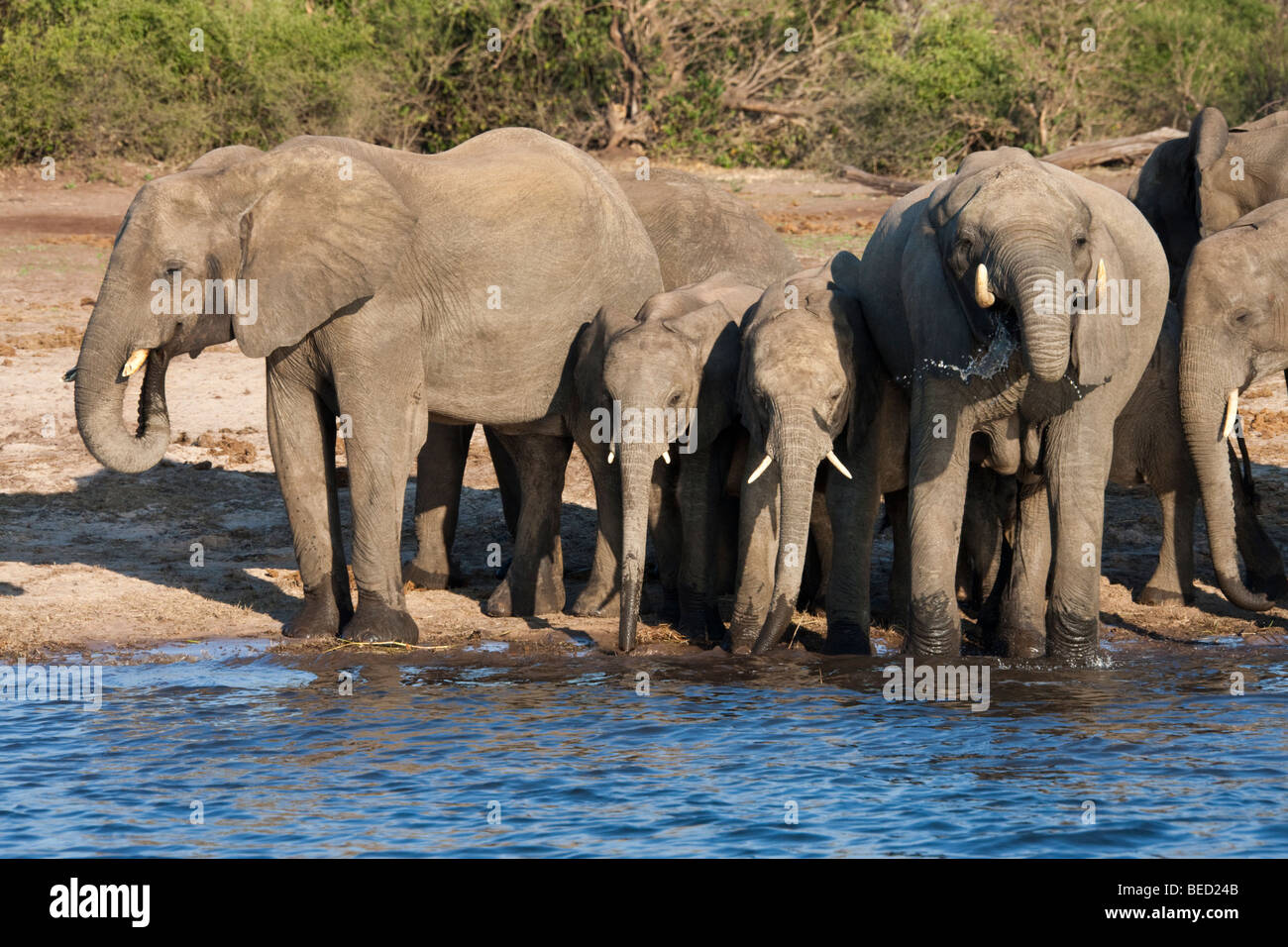A group of African Elephants (Loxodonta africana) drinking at the Chobe River in Chobe National Park in Botswana - Stock Image