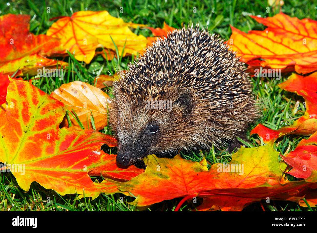Young West European hedgehog, European Hedgehog (Erinaceus europaeus), in colourful autumn foliage, maple leaves - Stock Image