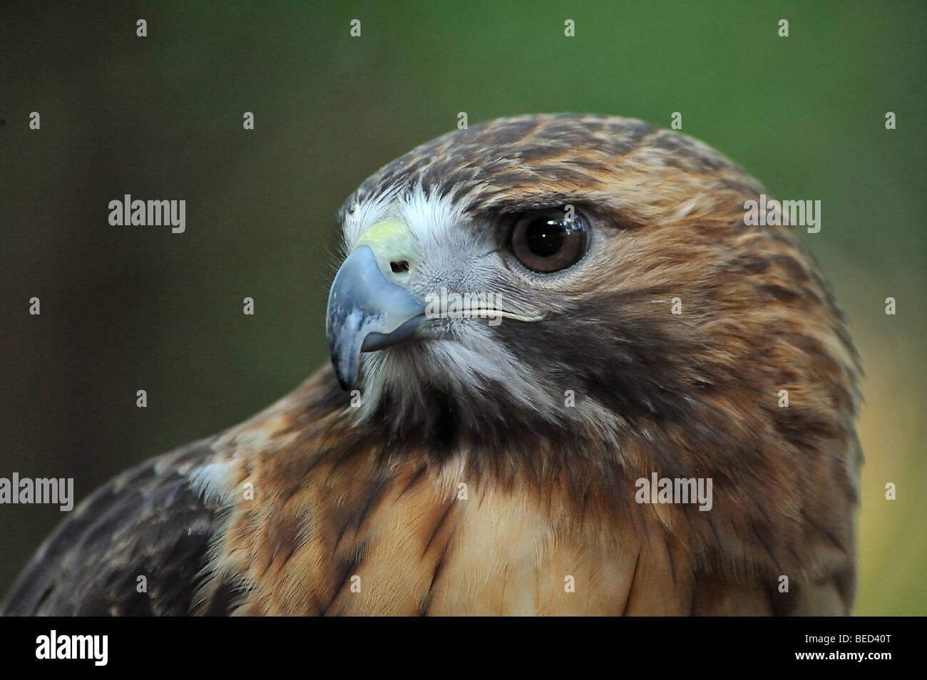 Red-tailed hawk, Buteo jamaicensis, Florida, captive - Stock Image