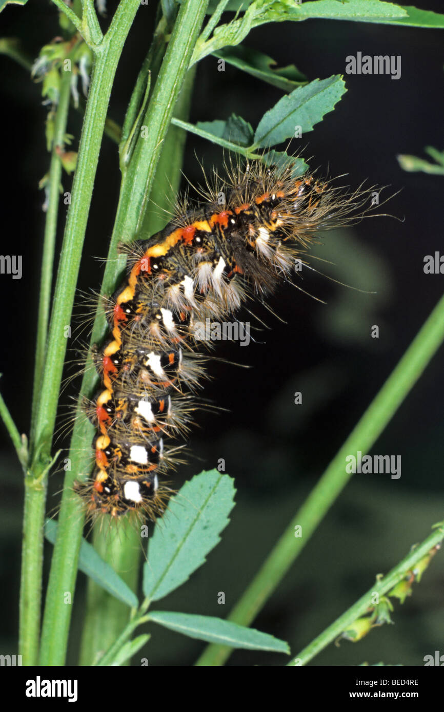 Knot Grass Moth (Acronicta rumicis) caterpillar feeding on white-flowered sweet clover - Stock Image