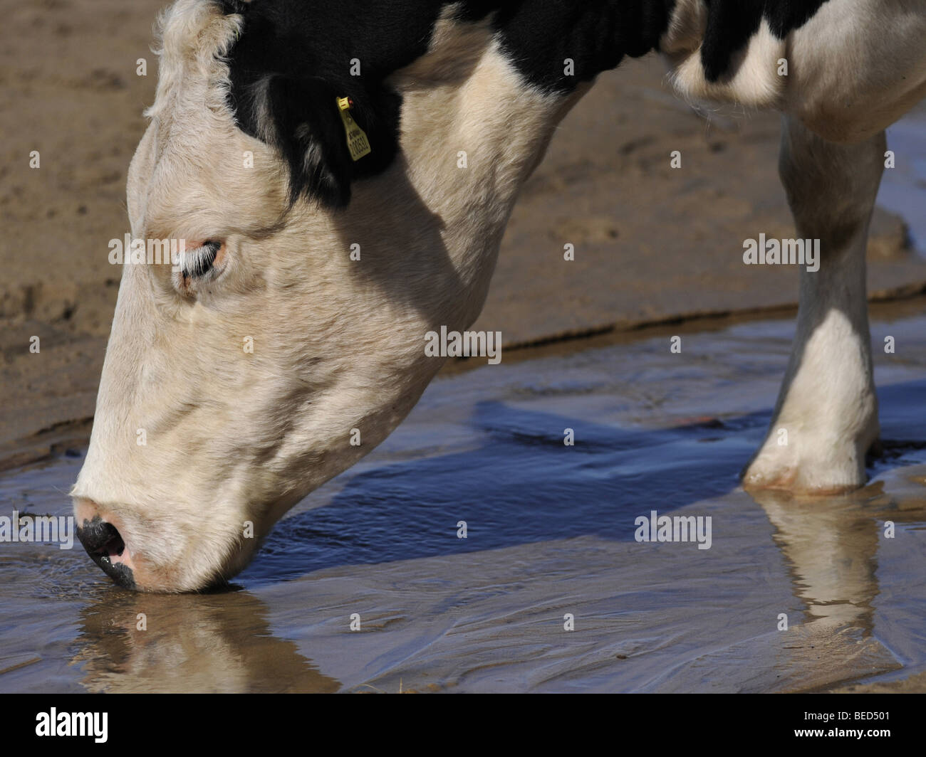 A friesian cow having a drink. - Stock Image