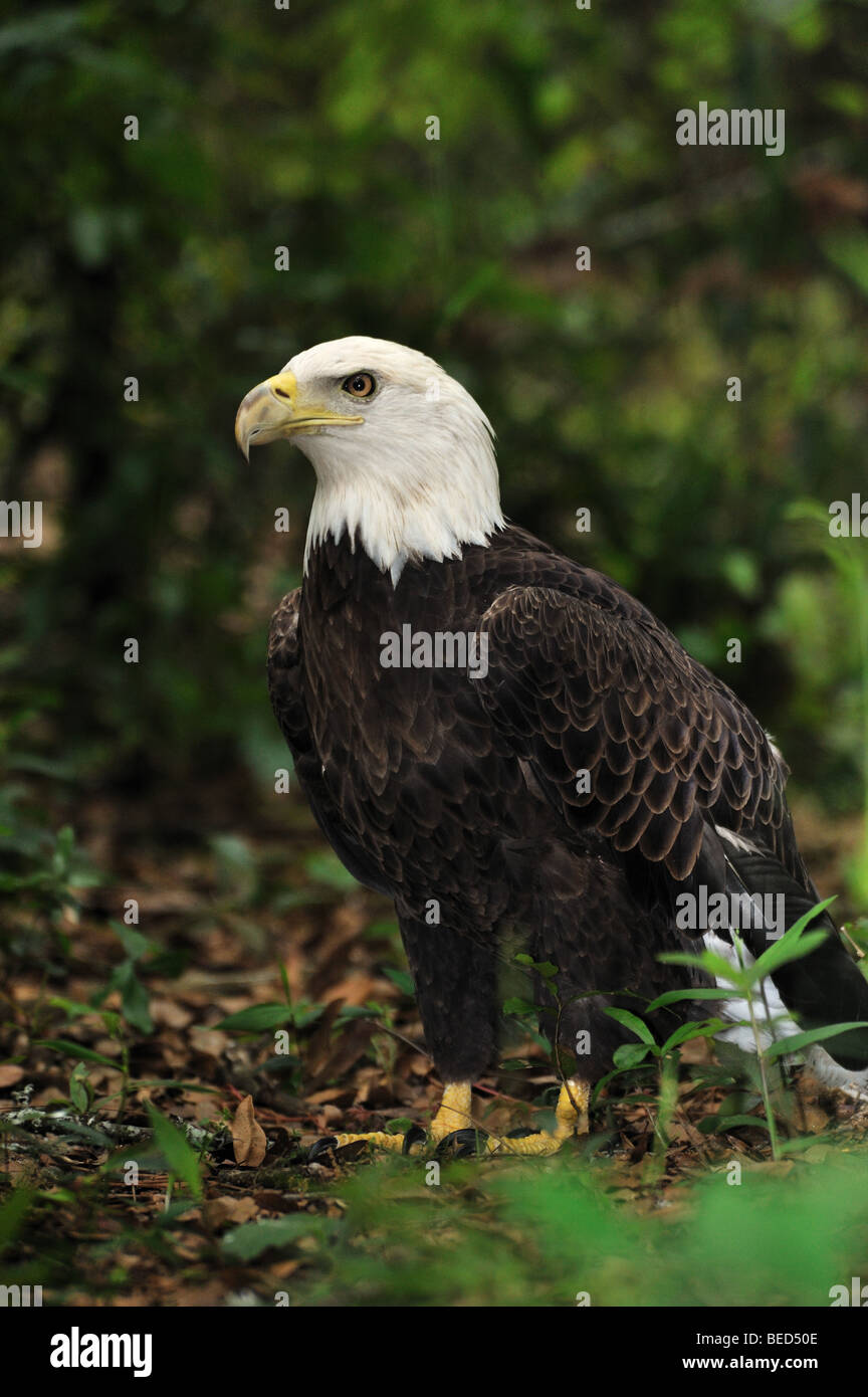 Bald Eagle, Haliaeetus leucocephalus, Florida, captive - Stock Image