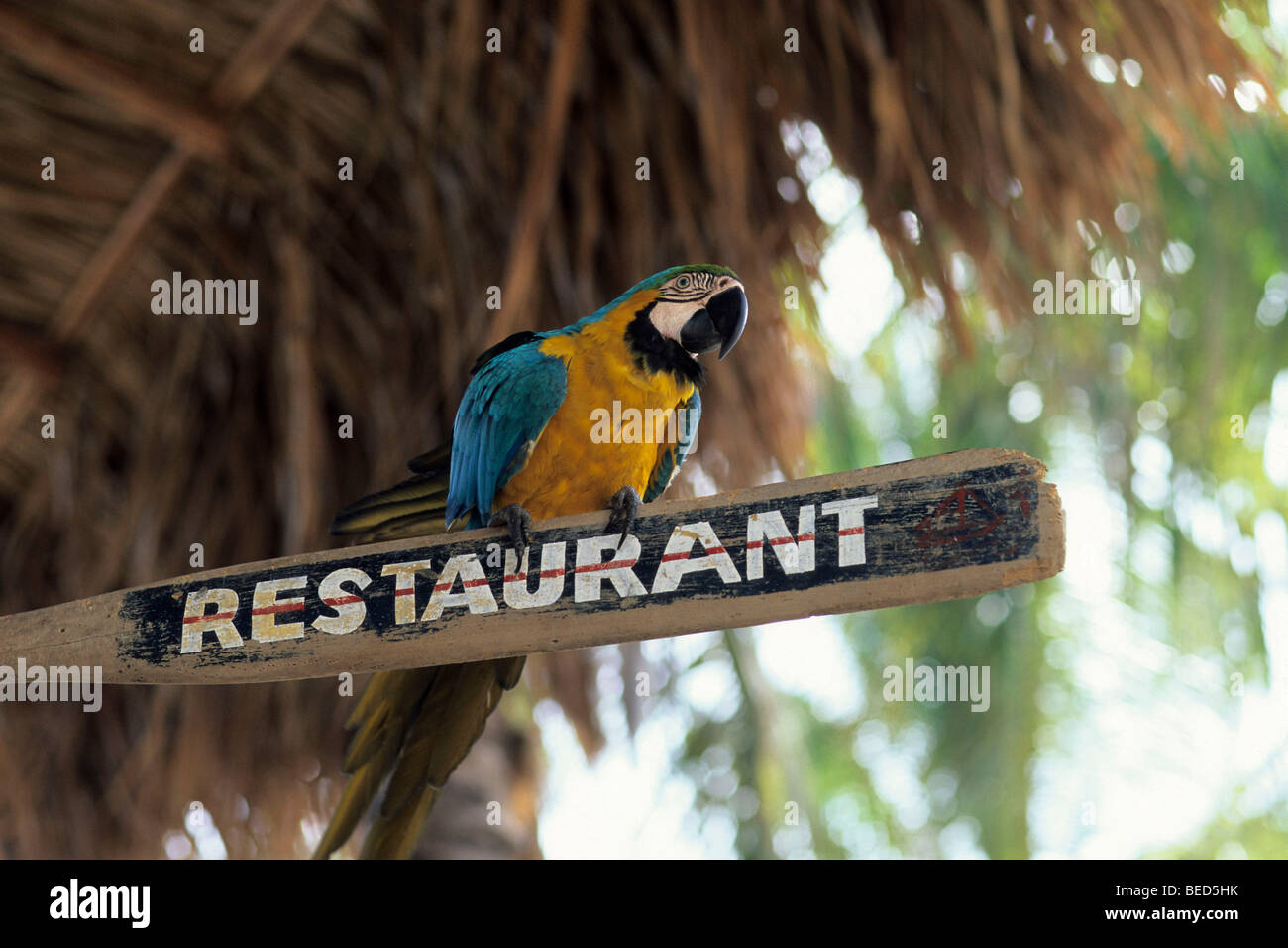Parrot sitting on an oar at a beach bar, restaurant written on it, Playa Caribe on the Caribbean Coast, Isla de - Stock Image