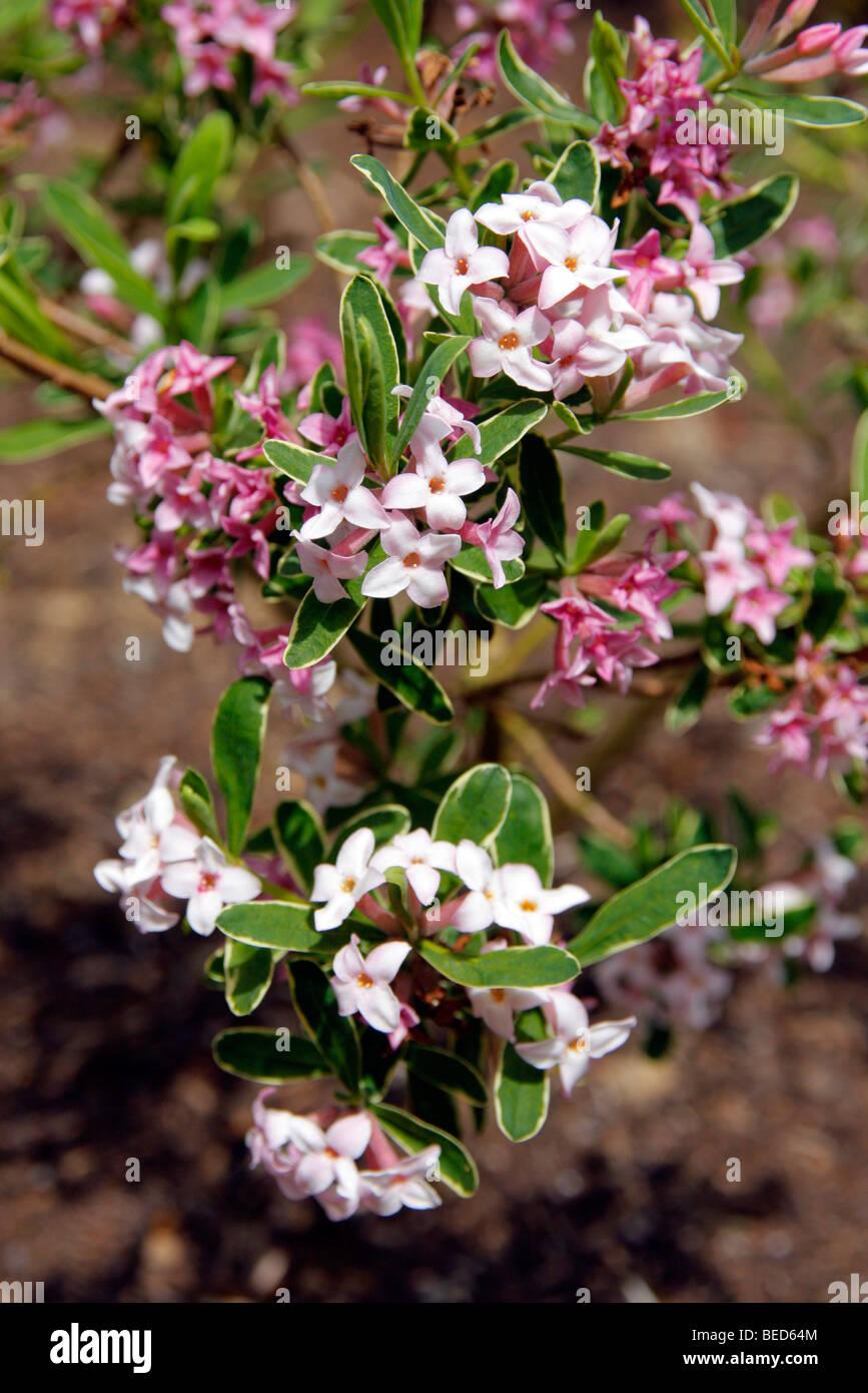 Daphne x burkwoodii 'Somerset Gold Edge' - Stock Image