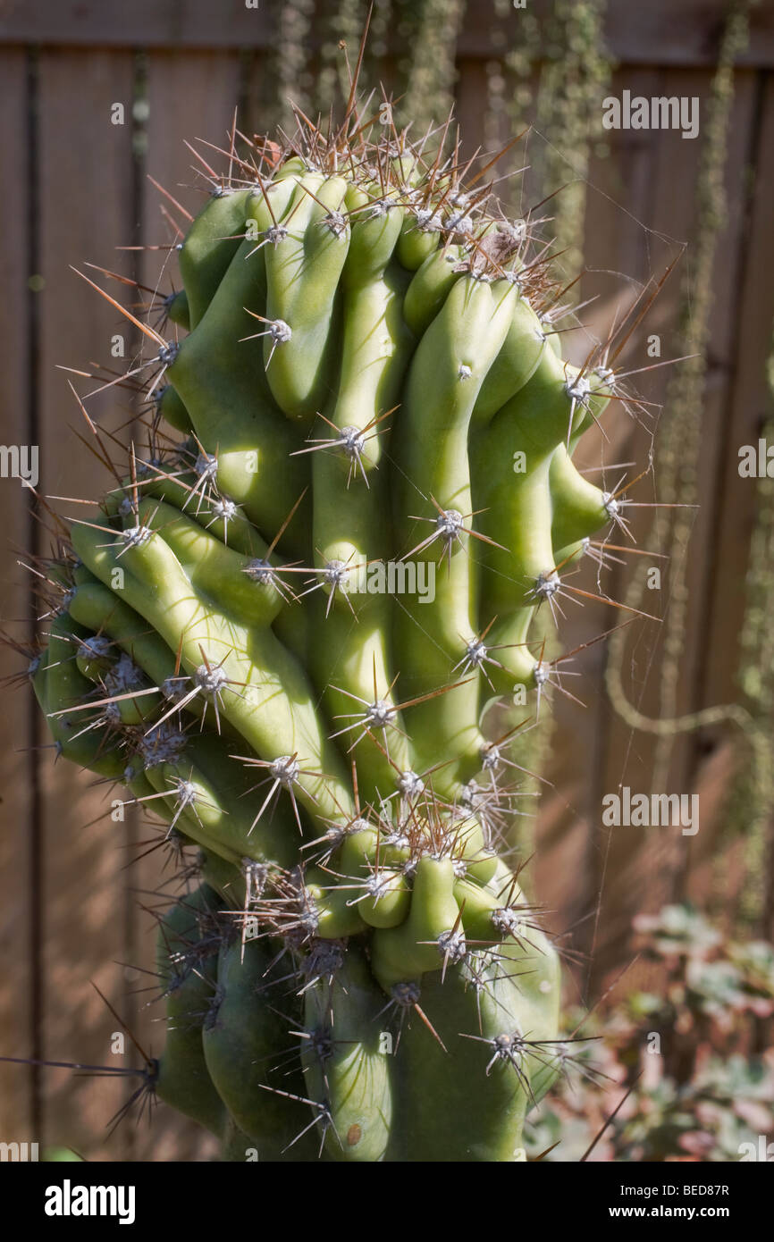 A piloscereus cactus, from subfamilies Cactoideae. It is characterized by a very prolonged body. The name Cereus Stock Photo