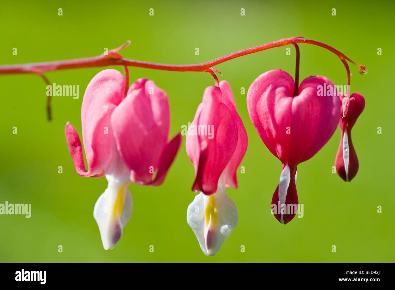 Bleeding Heart (Lamprocapnos spectabilis) - Stock Image