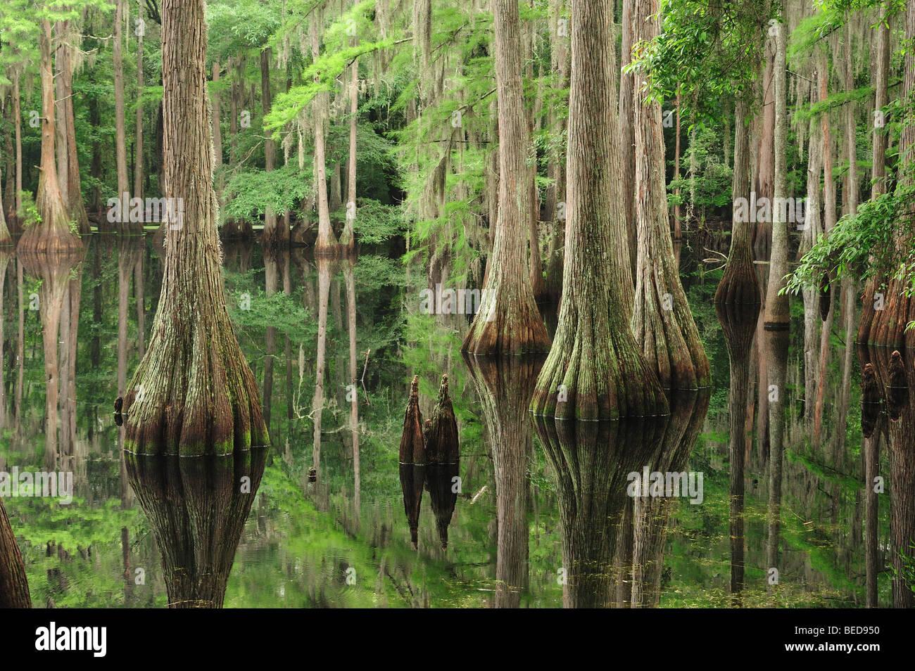 Bald cypress, Taxodium distichum, Lake Bradford, Florida - Stock Image