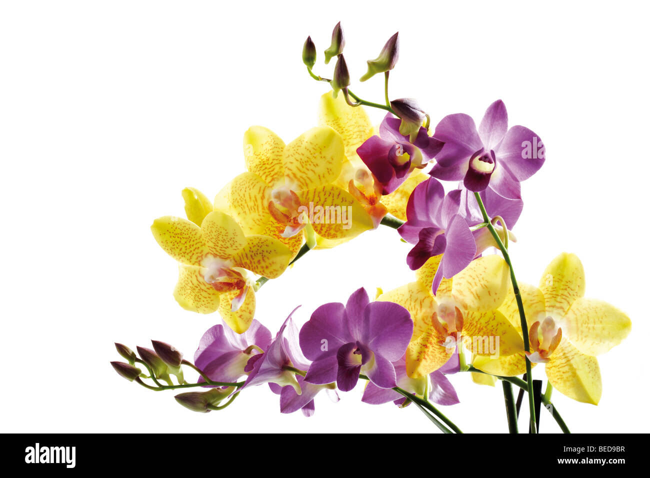 Orchids - Stock Image