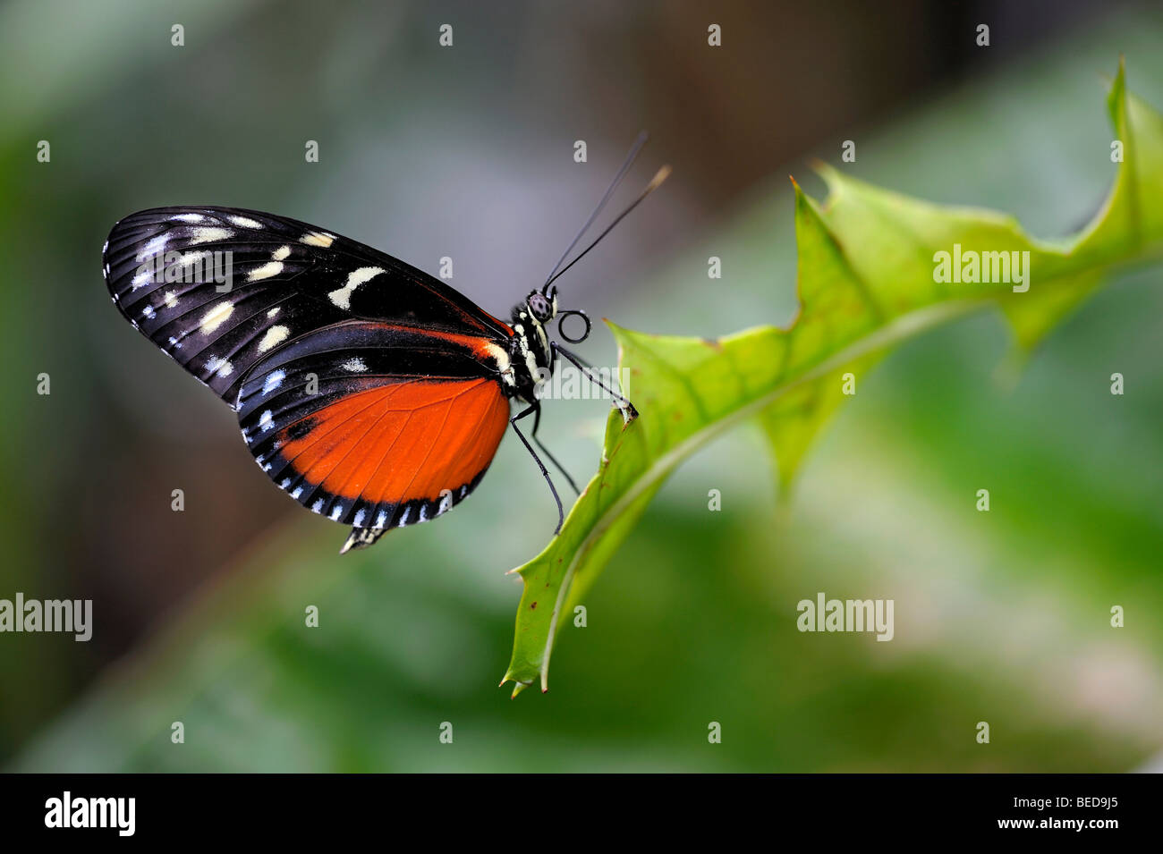 Tiger Heliconian or Ismenius Tiger (Heliconius ismenius) on a leaf - Stock Image