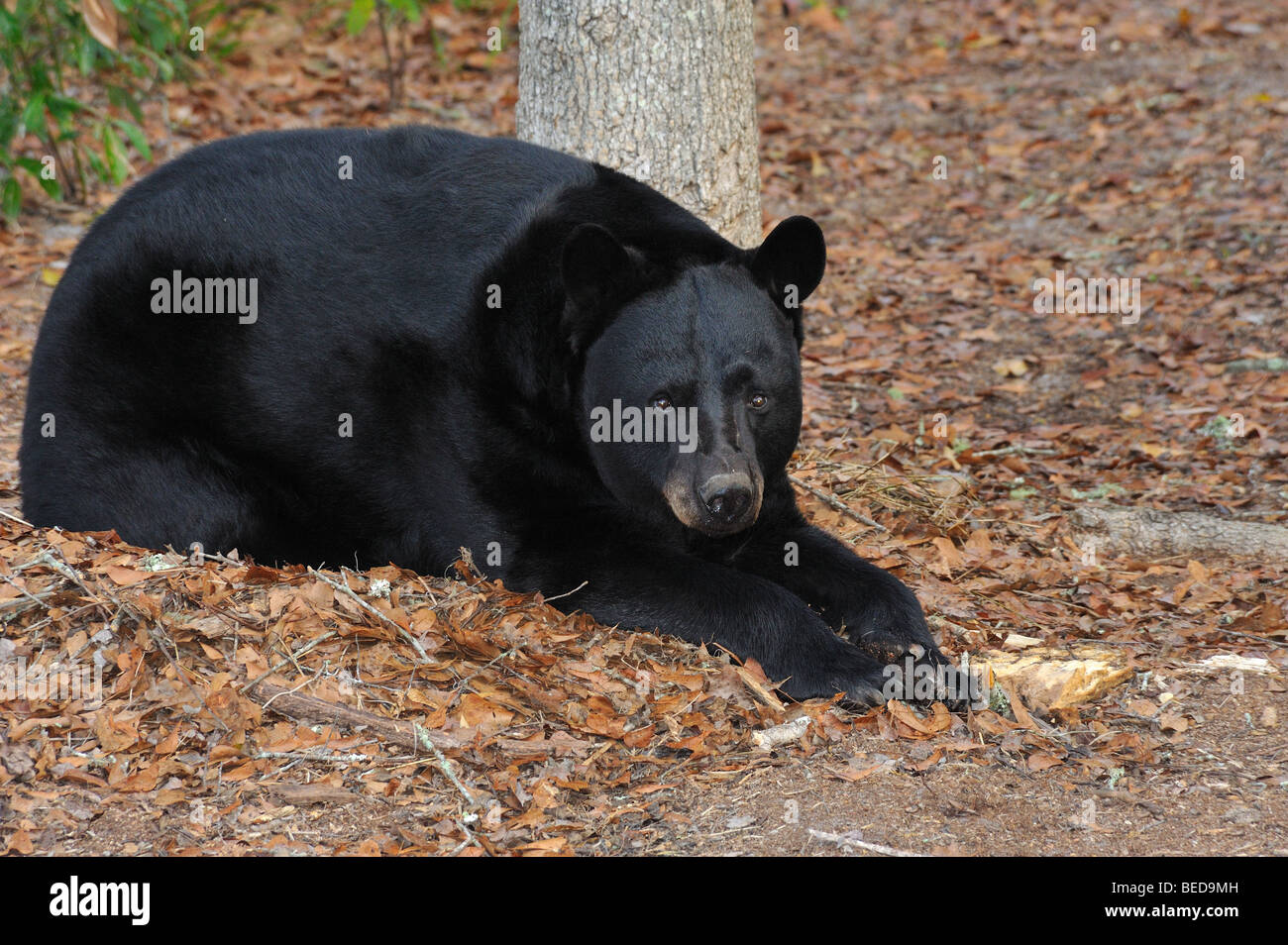 Black bear, Ursus americanus, Florida, captive - Stock Image
