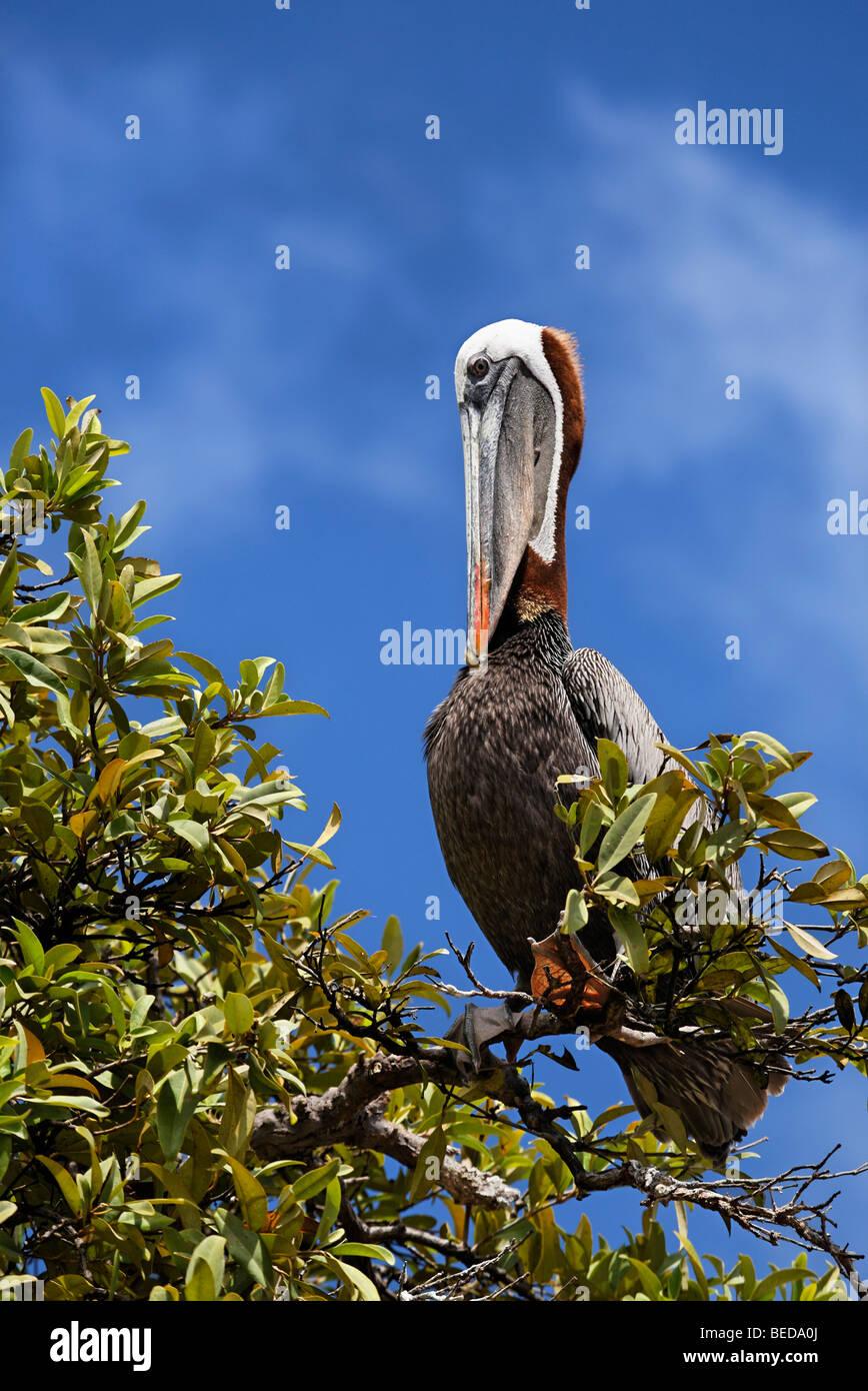 Brown Pelican (Pelecanus occidentalis) grooming itself on a tree, Punta Cormorant, Floreana Island, Galapagos Archipelago, - Stock Image
