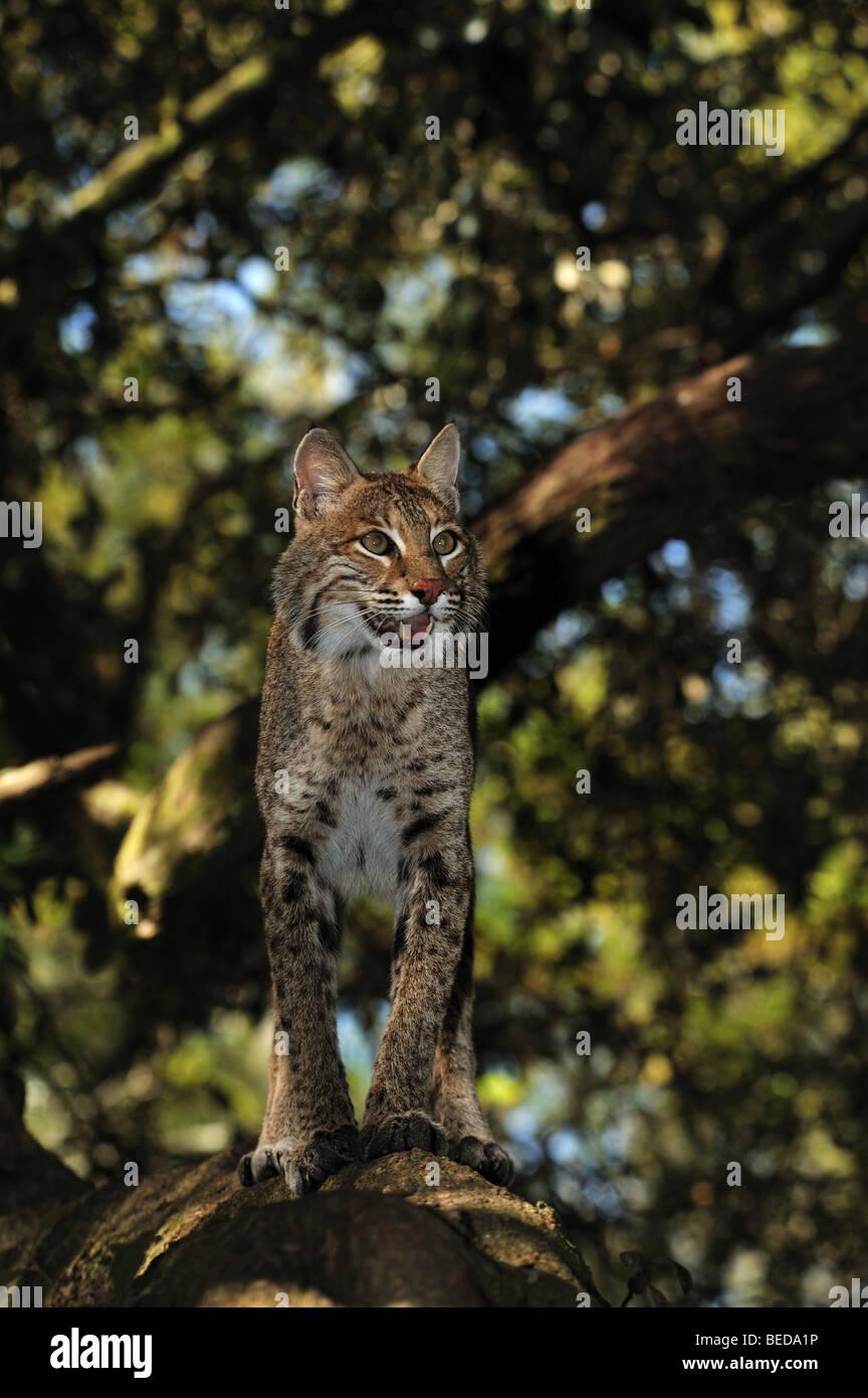 Bobcat, Lynx rufus, Florida, captive - Stock Image