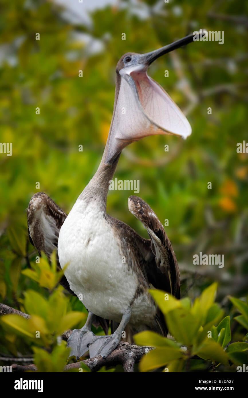 Brown Pelican (Pelecanus occidentalis) laughing on a tree, Santa Cruz Island, Indefatigable Island, Galapagos Archipelago, - Stock Image
