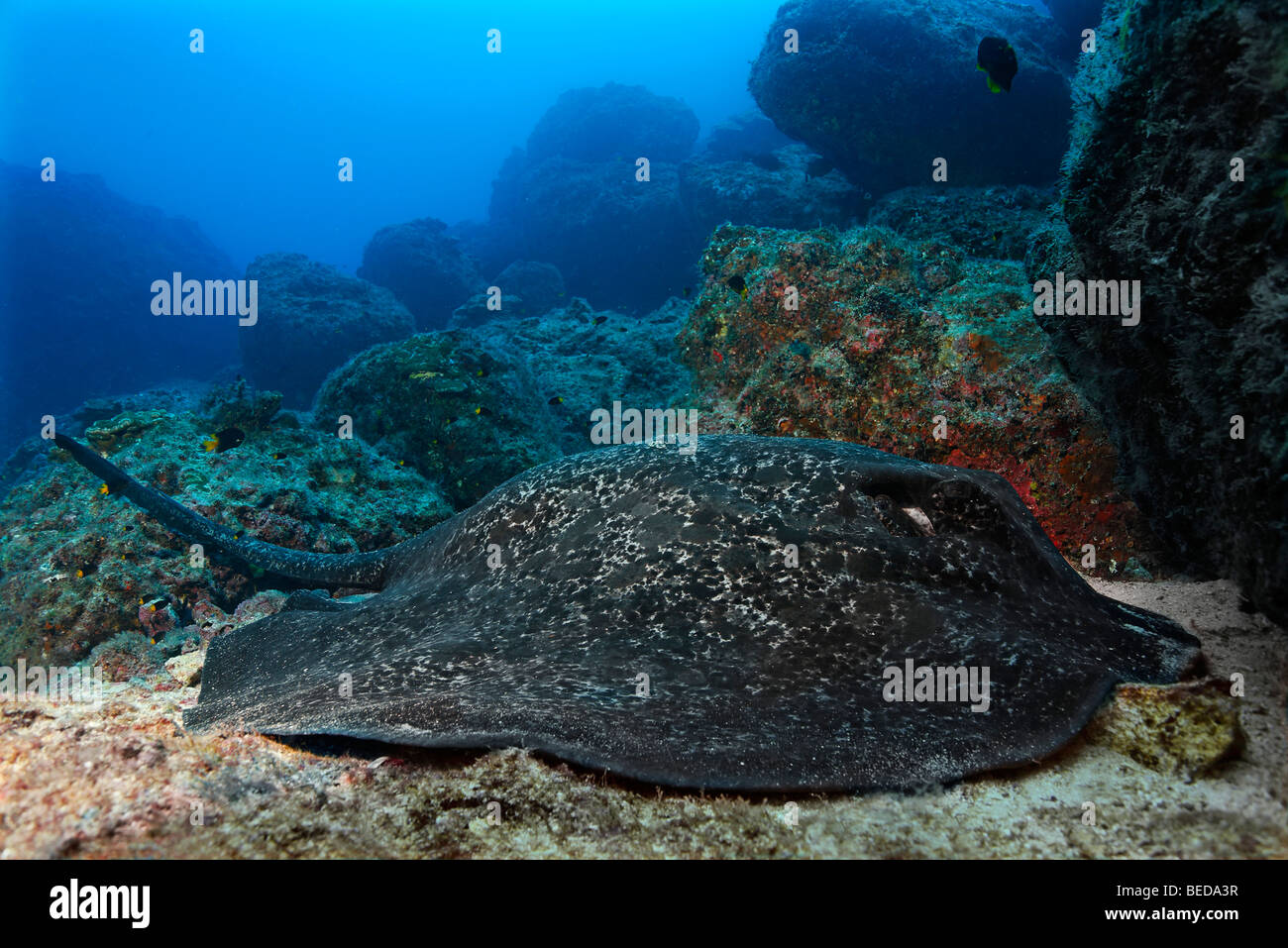 Two Blackspotted Sting rays (Taeniura meyeni), resting, reef, Cocos Island, Costa Rica, Central America, Pacific - Stock Image