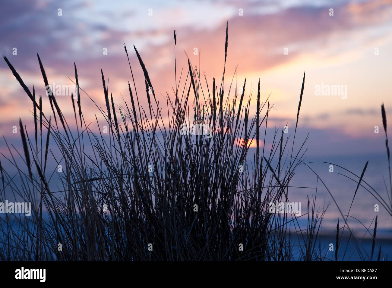 Dune grass at sunset, Kampen, Sylt, North Frisian Islands, Schleswig-Holstein, Germany, Europe - Stock Image