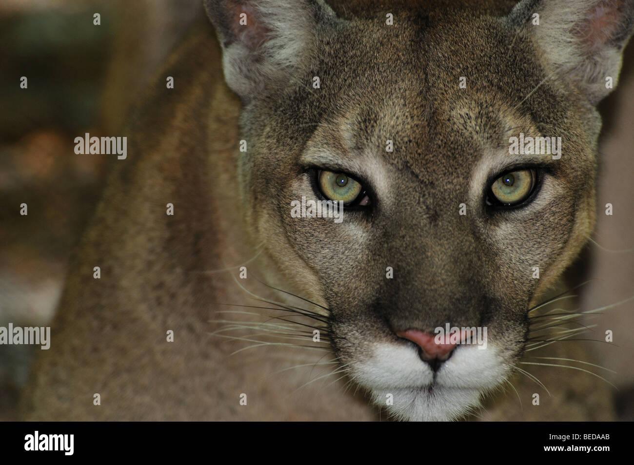 Florida panther, Puma concolor coryi, Florida, captive - Stock Image