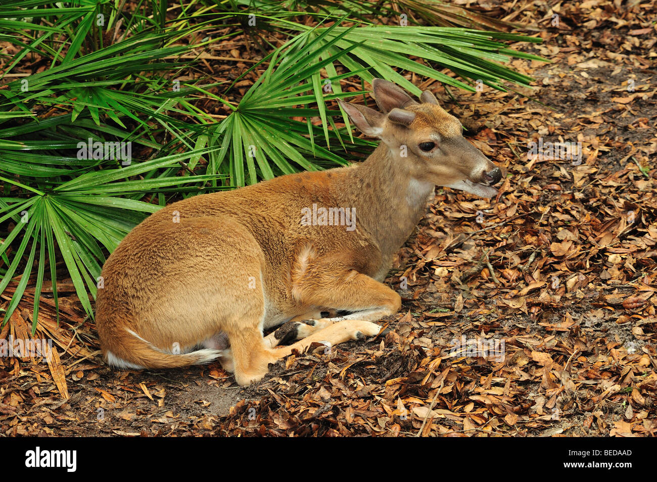 White-tailed Deer, Odocoileus virginianus, Lake Bradford, Florida (captive) - Stock Image