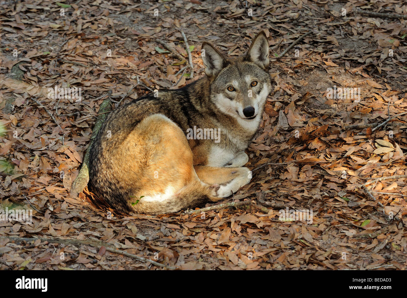 Red Wolf, Canis rufus, Florida (captive) - Stock Image