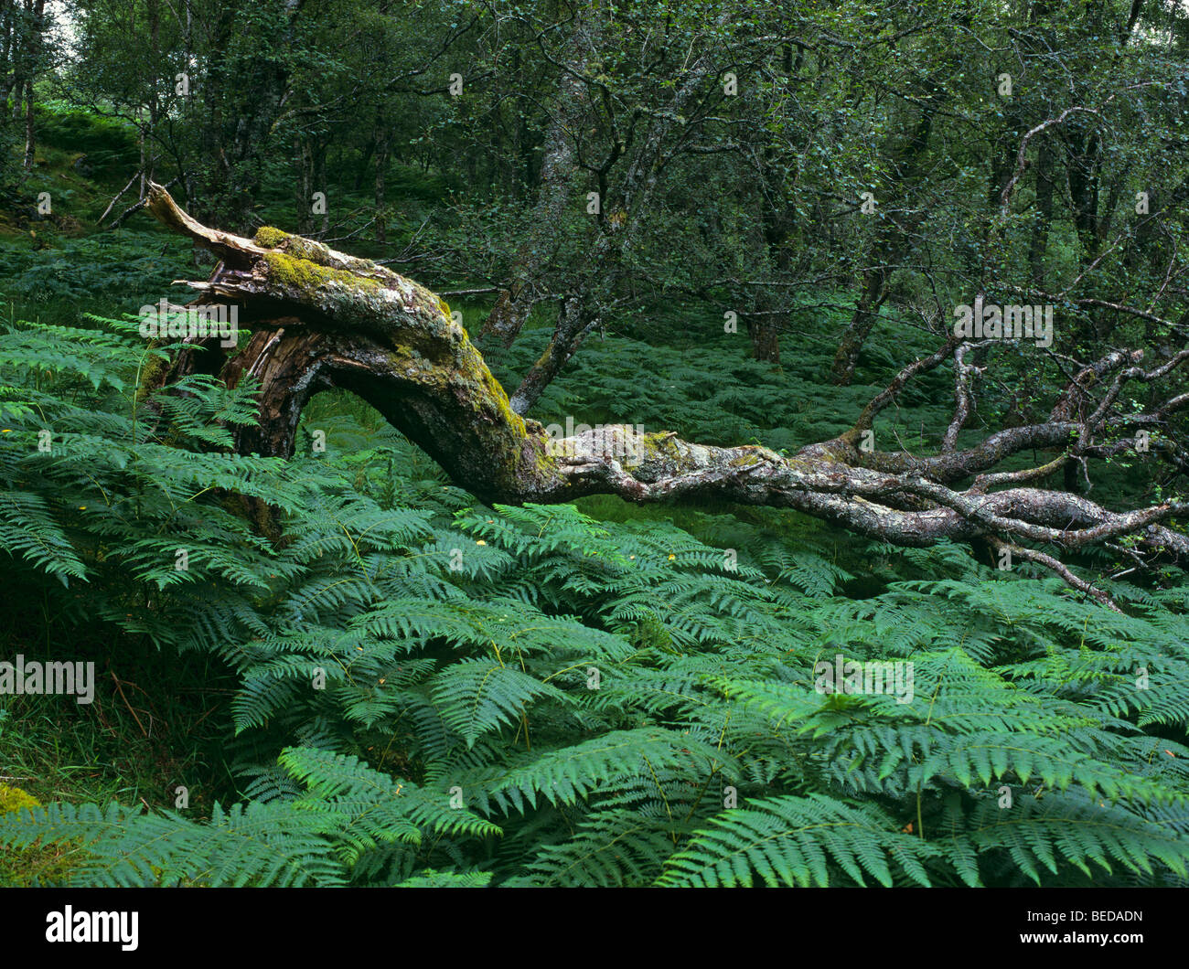 Fallen tree and ferns in an alder forest, Scotland, United Kingdom, Europe - Stock Image