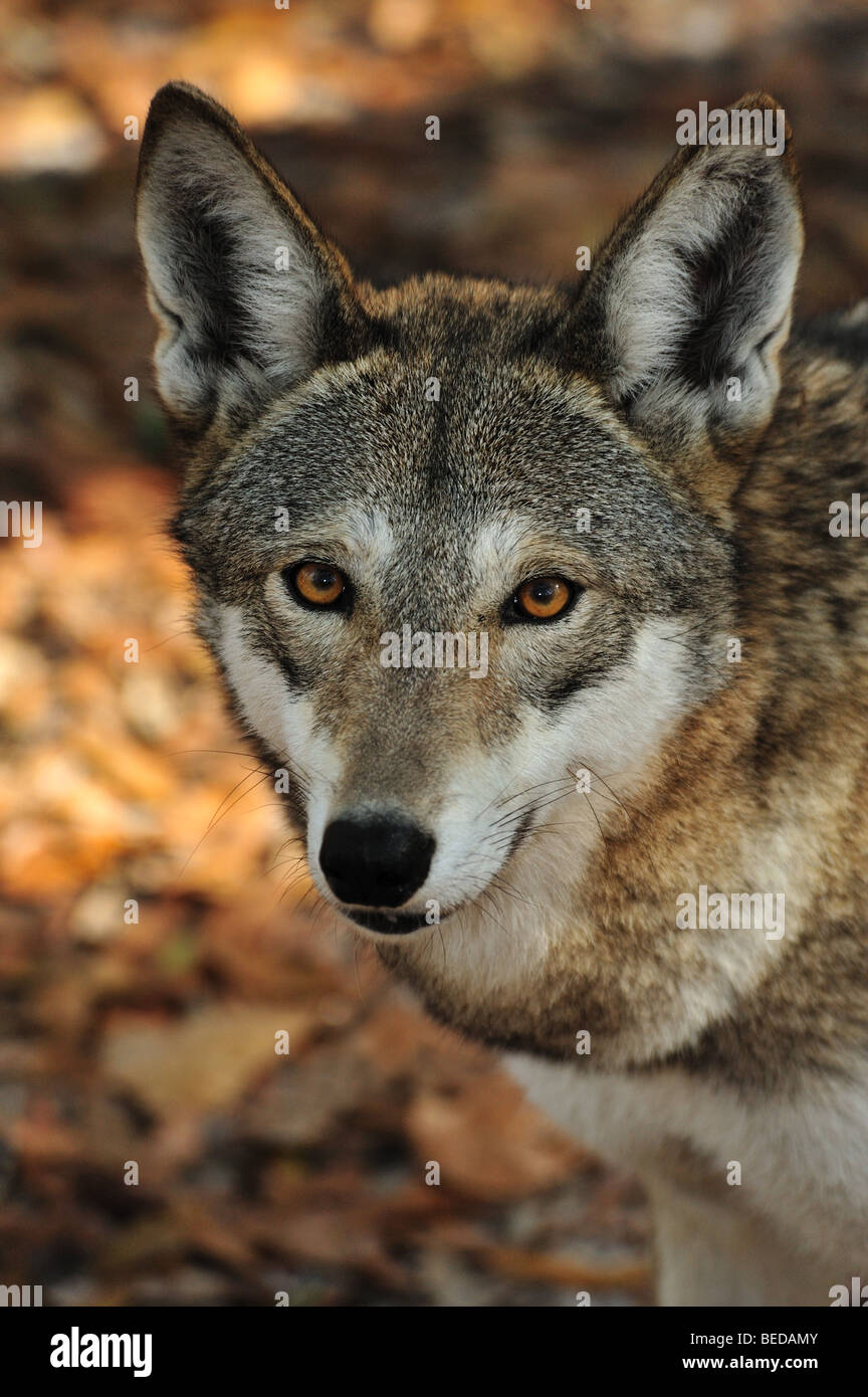 Red Wolf, Canis rufus, Florida (captive) Stock Photo