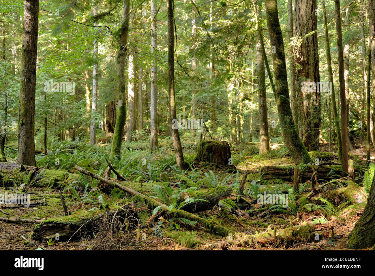 In the cold rainforest Cathedral Grove, Mac Millan Provincial Park, Vancouver Island, Canada, North America Stock Photo