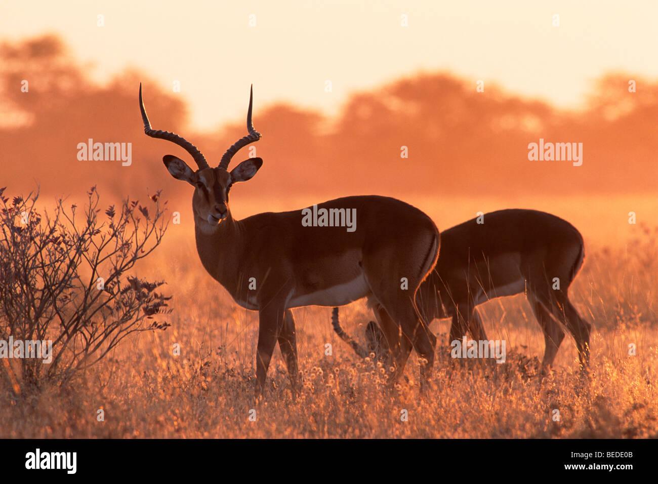 Impalas (Aepyceros melampus) at sunrise, Etosha National Park, Namibia, Africa - Stock Image