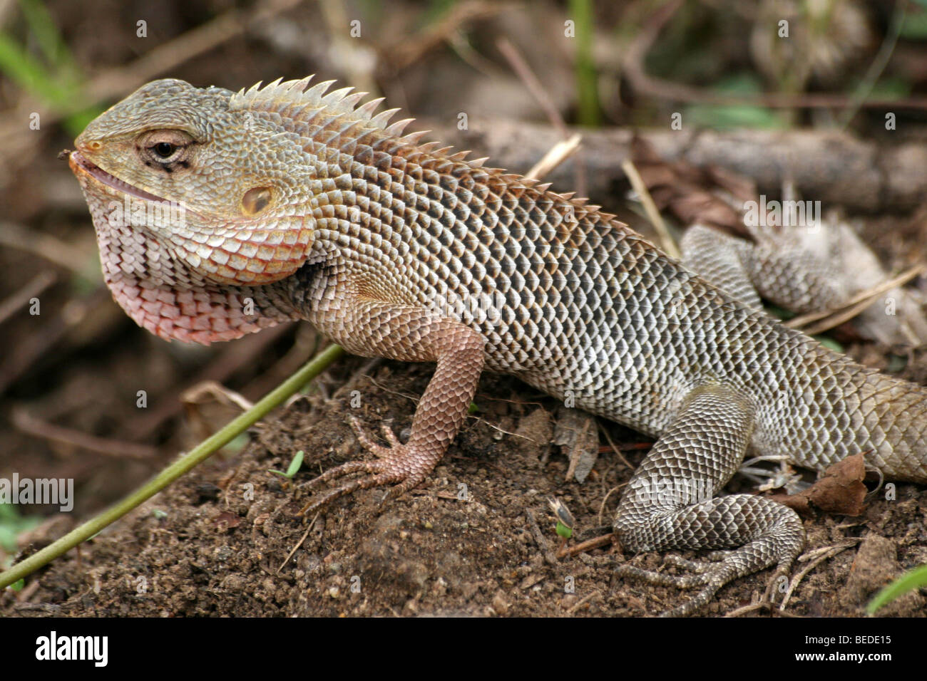 Oriental Garden Lizard Stock Photos & Oriental Garden Lizard Stock ...