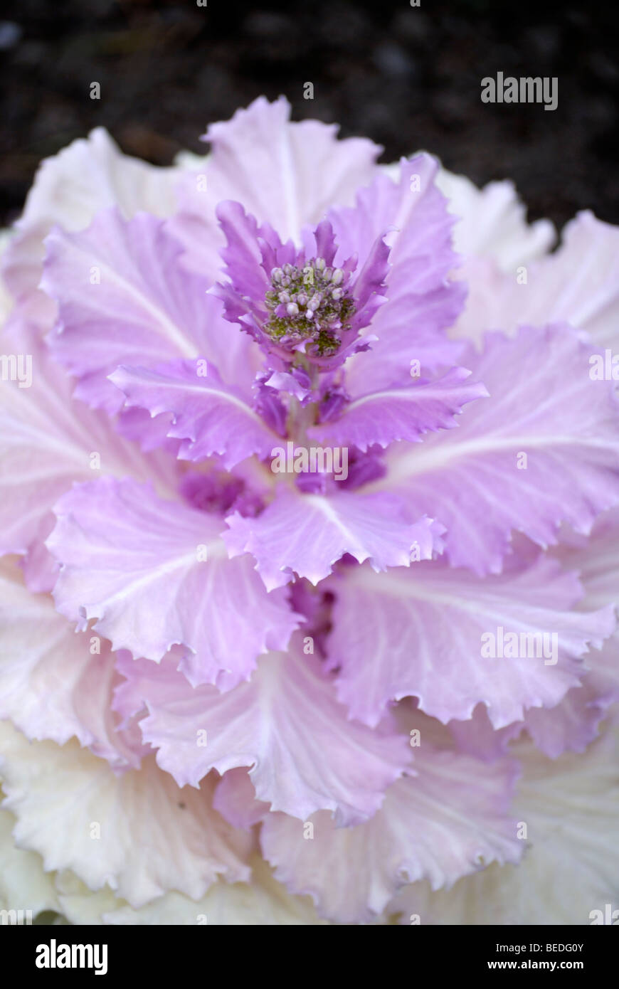 Purple Cabbage Flower Stock Photos Purple Cabbage Flower Stock