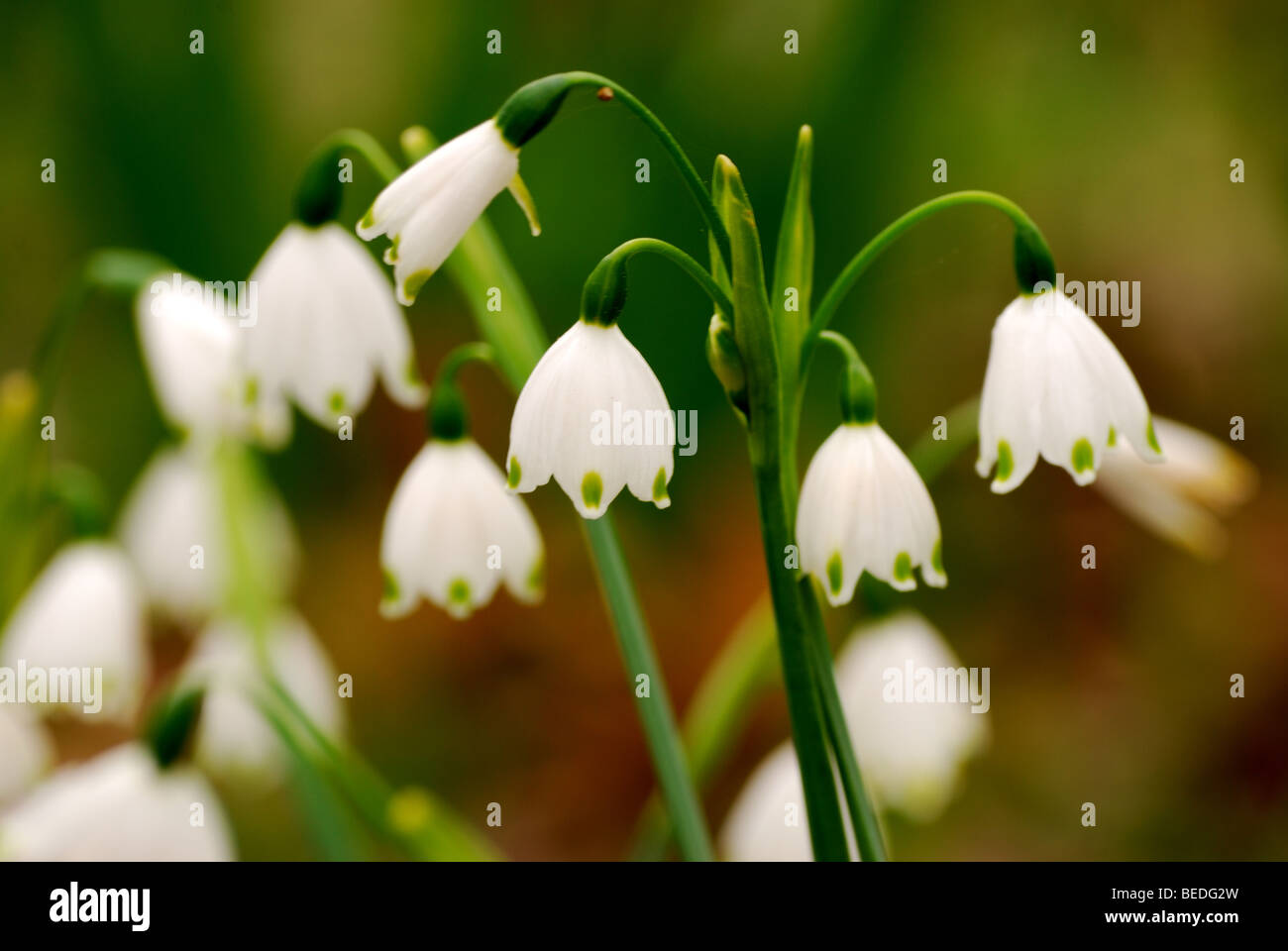 White Bells Flowers Spring Closeup Stock Photo: 26113553 - Alamy