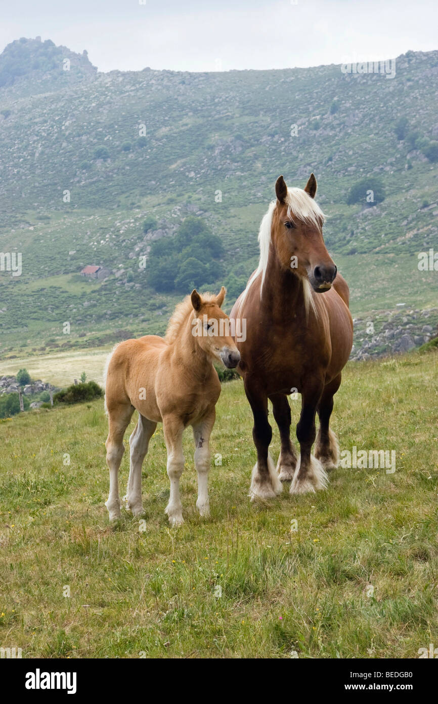 Haflinger horse with foal in the mountains, Cevennes, France, Europe - Stock Image