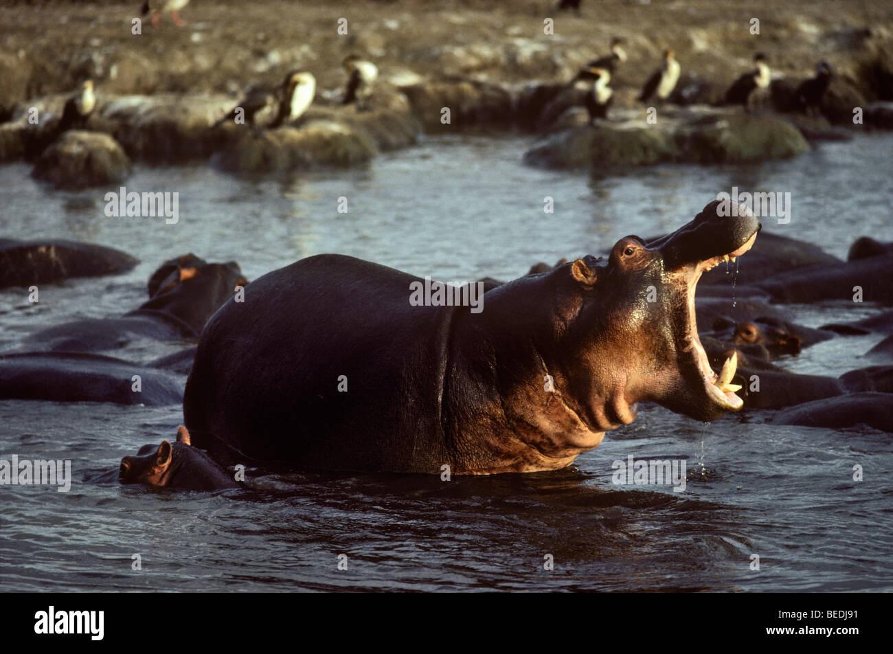 Hippos at Lake Manyara National Park, Tanzania. - Stock Image