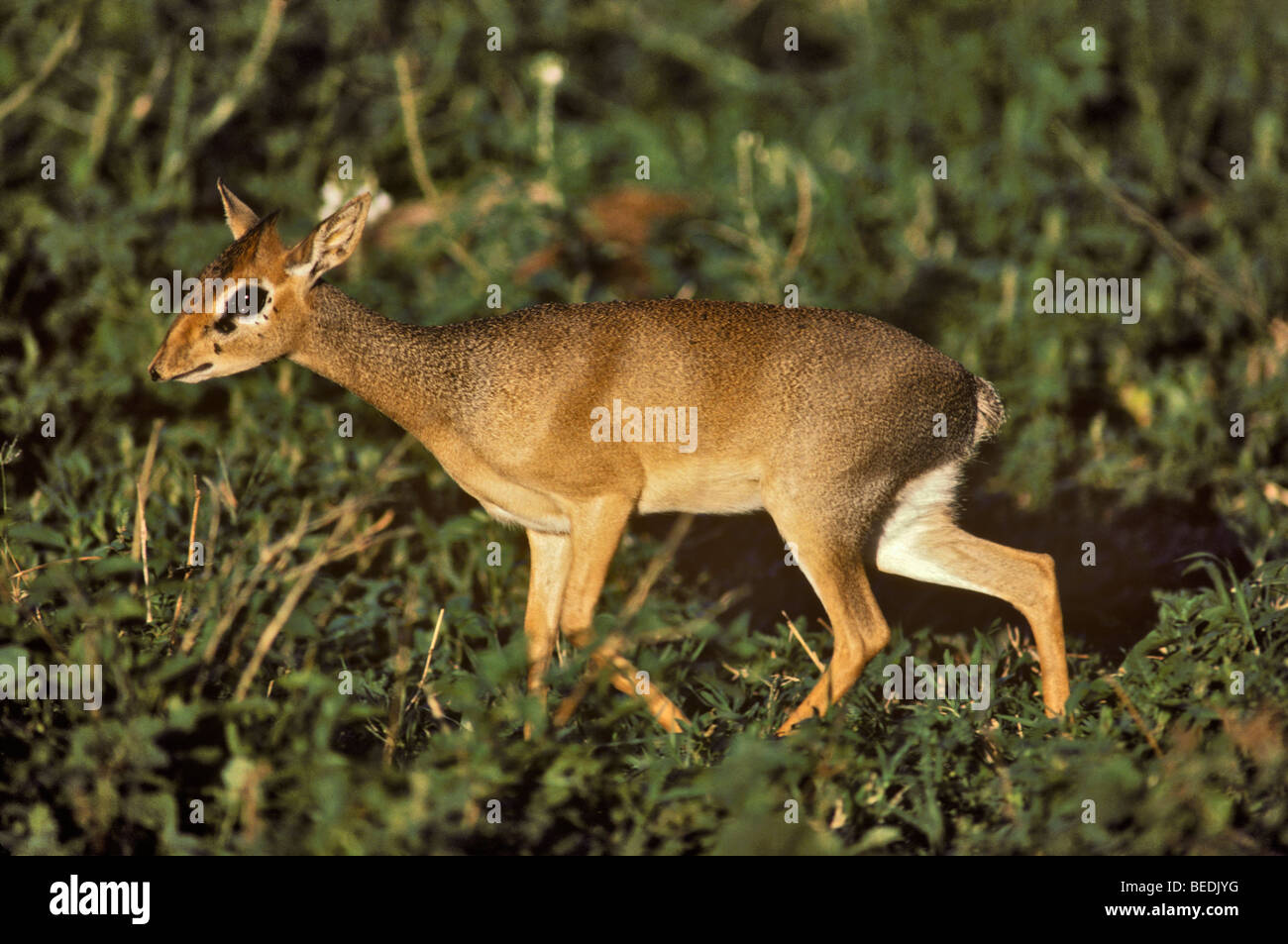 Dik-dik (small antelope) at Lake Manyara National Park,Tanzania. - Stock Image