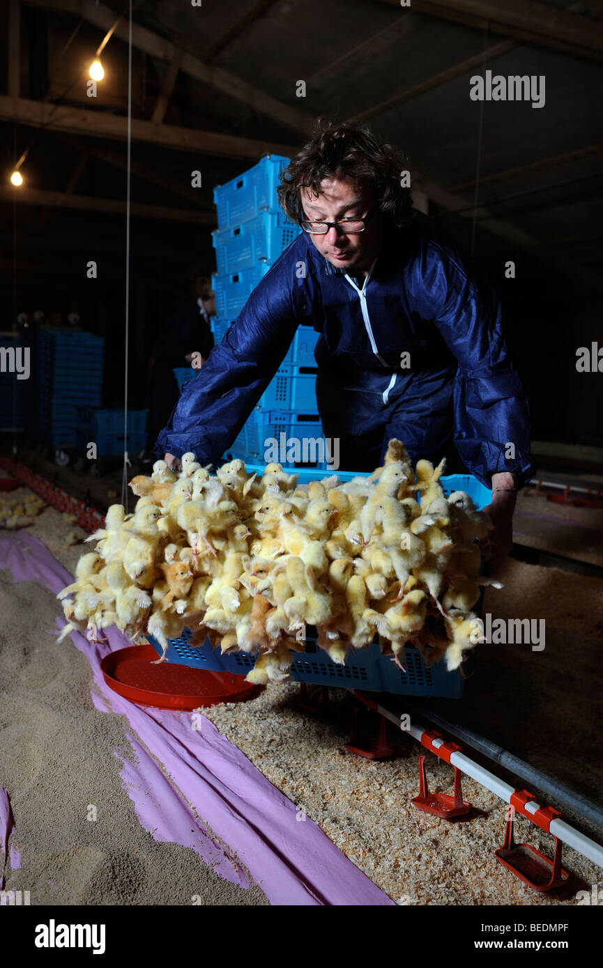 FOOD WRITER AND BROADCASTER HUGH FEARNLEY-WHITTINGSTALL EMPTIES A CRATE OF CHICKS DURING A VISIT TO A CHICKEN BROILER - Stock Image