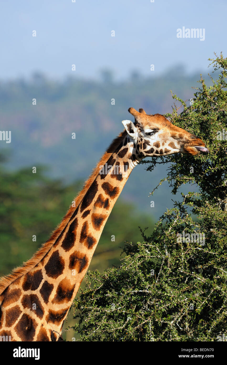 Portrait of a Rothschild Giraffe (Giraffa camelopardalis rothschildi), Lake Nakuru, national park, Kenya, East Africa - Stock Image