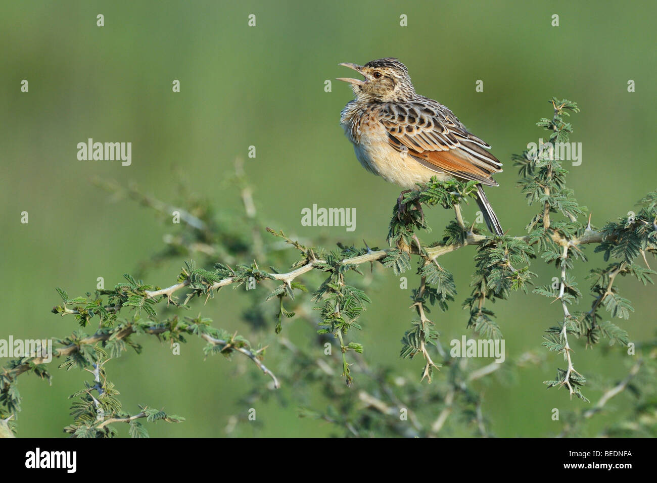 Rufous-naped Lark (Mirafra africana), chirping, Lake Nakuru, national park, Kenya, East Africa Stock Photo