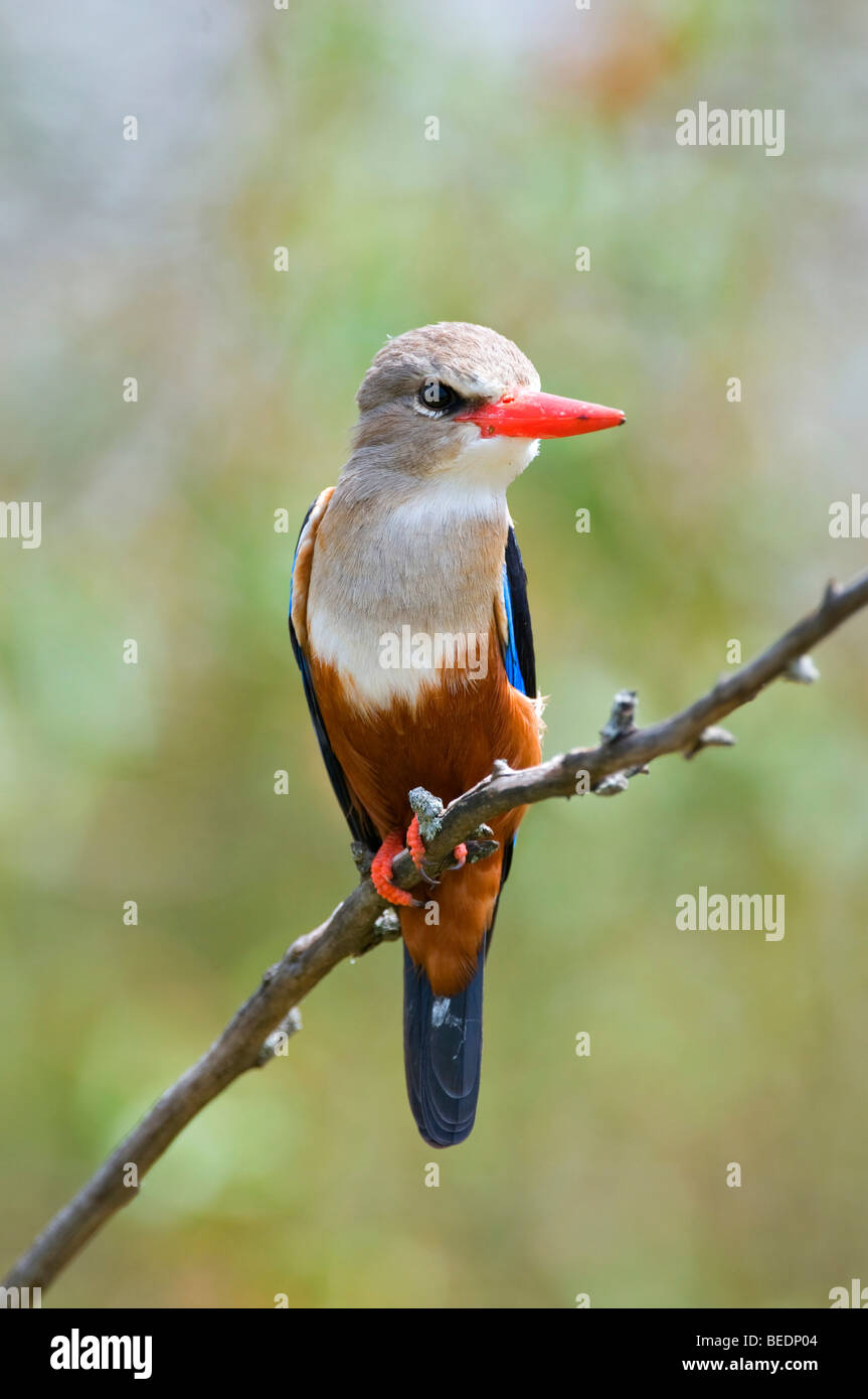 Grey-headed Kingfisher (Halcyon leucocephala), Masai Mara, national park, Kenya, East Africa - Stock Image