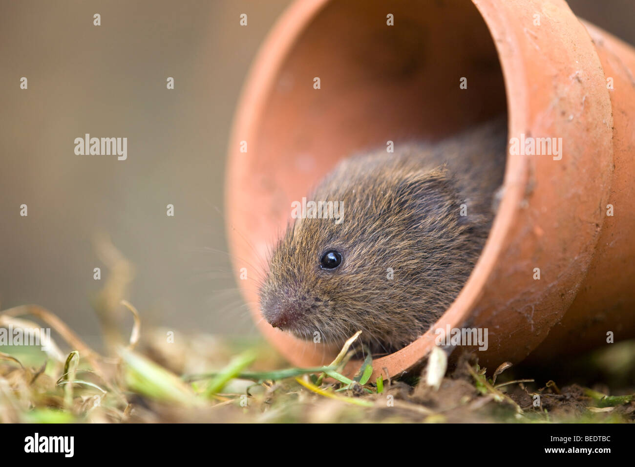 Field vole; Microtus agrestis; in pot - Stock Image