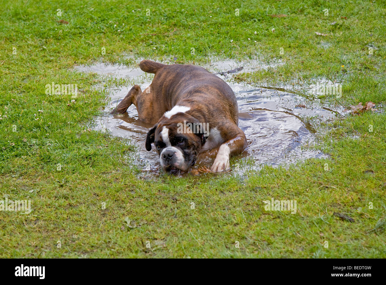 Boxer dog rolling in puddle of water in grass. UK - Stock Image