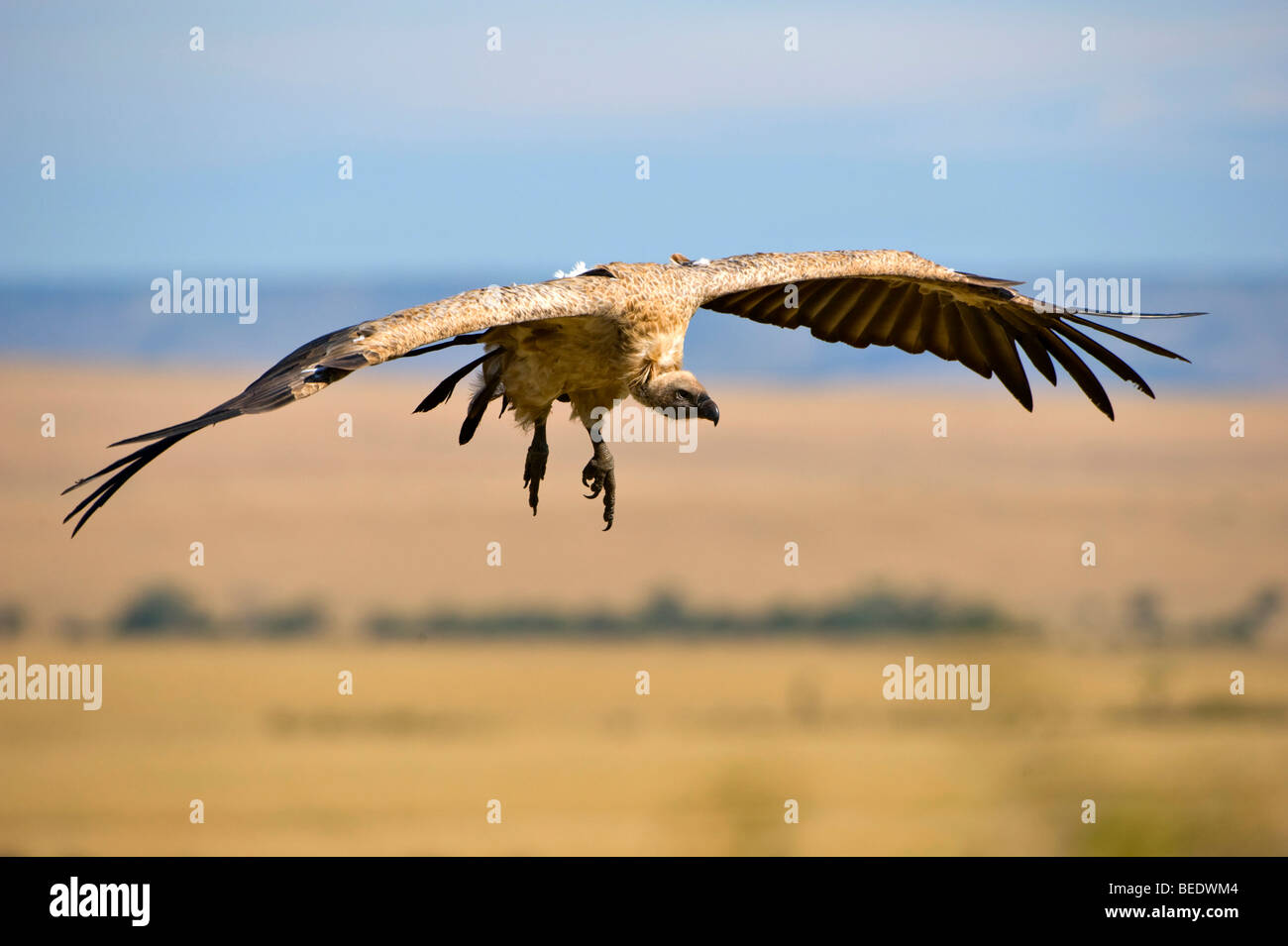 White-backed Vulture (Gyps africanus) about to land, Masai Mara Nature Reserve, Kenya, East Africa Stock Photo